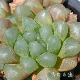 大型玉露 ハオルチア Haworthia Mサイズ6cmポット 透明窓 多肉植物