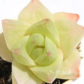 シンビフォルムス幅広タイプ ハオルチア Haworthia Mサイズ6cmポット 透明窓 多肉植物