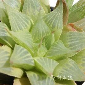 祝宴 ハオルチア Haworthia Mサイズ6cmポット 透明窓 多肉植物