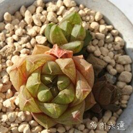 玉の泉 ハオルチア Haworthia Mサイズ6cmポット 透明窓 多肉植物