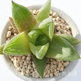 ラドラ ハオルチア Haworthia Mサイズ6cmポット 透明窓 多肉植物