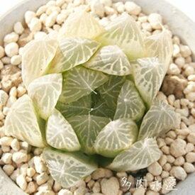 白水晶 ハオルチア Haworthia Mサイズ6cmポット 透明窓 多肉植物