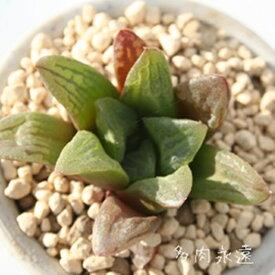 華鏡 ハオルチア Haworthia Mサイズ6cmポット 透明窓 多肉植物