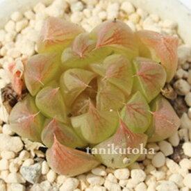 林檎姫 ハオルチア Haworthia Mサイズ6cmポット 透明窓 多肉植物