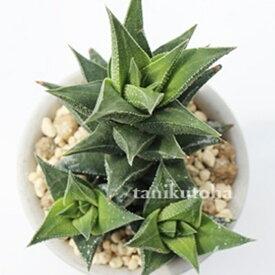 蛍霜 ハオルチア Haworthia Mサイズ6cmポット 透明窓 多肉植物