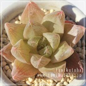 プラニフォリア ハオルチア Haworthia Mサイズ6cmポット 透明窓 多肉植物