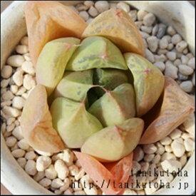 宝草 ハオルチア Haworthia Mサイズ6cmポット 透明窓 多肉植物