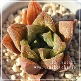 ジョイドドソン ハオルチア Haworthia Mサイズ6cmポット 透明窓 多肉植物