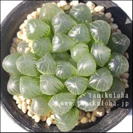 オブツーサスプリングボックブラケイト ハオルチア Haworthia Mサイズ6cmポット 透明窓 多肉植物