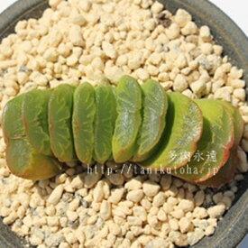グリーン玉扇 ハオルチア Haworthia Mサイズ 6cmポット 透明窓 多肉植物