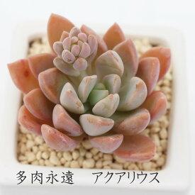 アクアリウス グラプトペタルム Mサイズ6cmポット 耐寒性多肉植物
