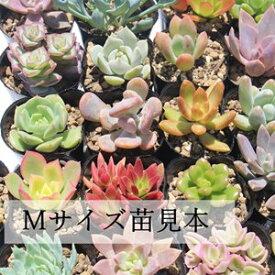 多肉植物 Mサイズ苗名前付き20個セット 多肉植物根付苗セット 激安多肉植物3