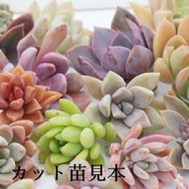 多肉植物Sサイズカット苗名前なし40個セット