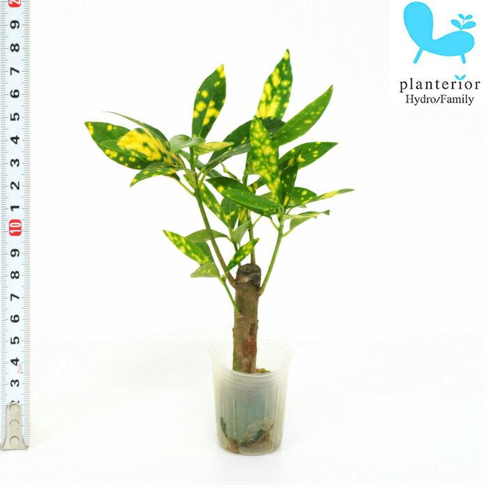 観葉植物 ハイドロカルチャー 苗 クロトン アキュビフォーリア プチサイズ 1寸