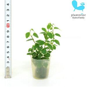 観葉植物 ハイドロカルチャー 苗 プミラ サニーホワイト プチサイズ 1寸