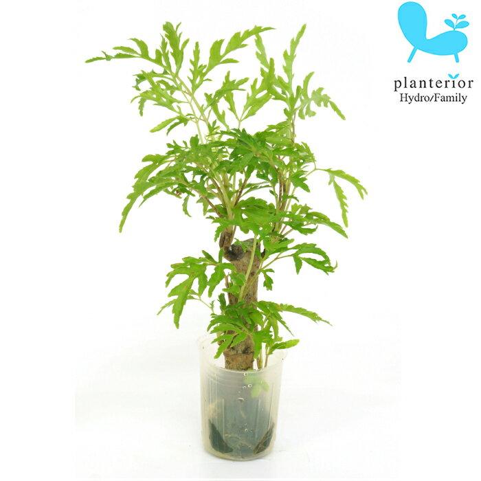 観葉植物 ハイドロカルチャー 苗 ポリシャス フィリシフォリア プチサイズ 1寸