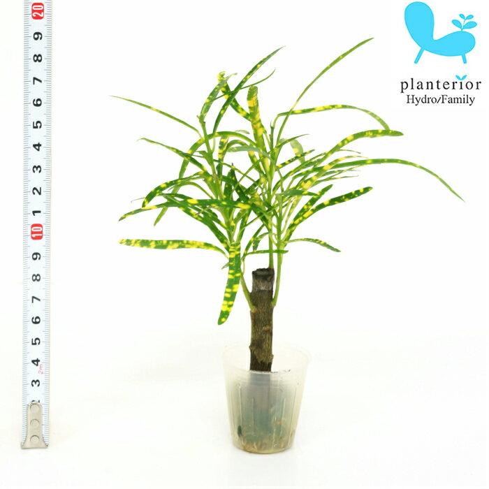 観葉植物 ハイドロカルチャー 苗 クロトン リュウセイ プチサイズ 1寸