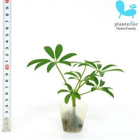 観葉植物 ハイドロカルチャー 苗 シェフレラ コンパクタ プチサイズ 1寸