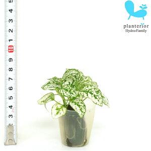 観葉植物 ハイドロカルチャー 苗 ヒポエステス ホワイト プチサイズ 1寸