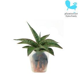 観葉植物 ハイドロカルチャー 苗 サンスベリア シルバーニンファ プチサイズ 1寸