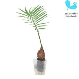 観葉植物 ハイドロカルチャー 苗 ソテツ プチサイズ 1寸