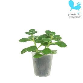 観葉植物 ハイドロカルチャー 苗 アロマティカス キューバ オレガノ プチサイズ 1寸