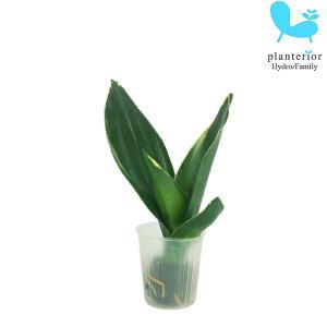 観葉植物 ハイドロカルチャー 苗 サンスベリア イエローマージン プチサイズ 1寸