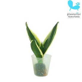観葉植物 ハイドロカルチャー 苗 サンスベリア ハニーボニー プチサイズ 1寸