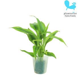 観葉植物 ハイドロカルチャー 苗 サンデリアナ ゴールド プチサイズ 1寸