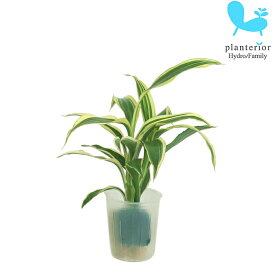 観葉植物 ハイドロカルチャー 苗 サンデリアナ ホワイト プチサイズ 1寸