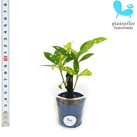 観葉植物 ハイドロカルチャー 苗 クロトン アキュビフォーリア Sサイズ 4.5パイ 1.5寸