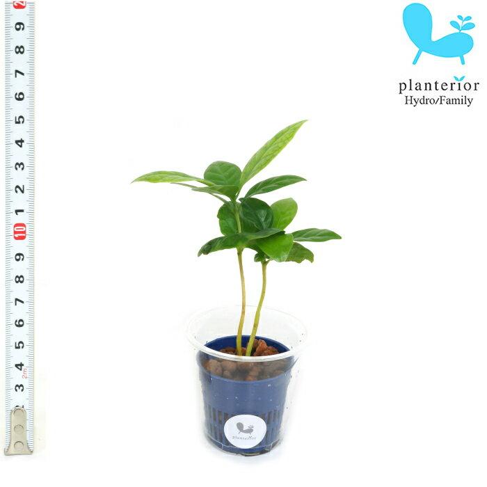 観葉植物 ハイドロカルチャー 苗 コーヒーの木 Sサイズ 4.5パイ 1.5寸