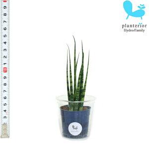 観葉植物 ハイドロカルチャー苗 サンスベリア ミカド Sサイズ 4.5パイ 1.5寸