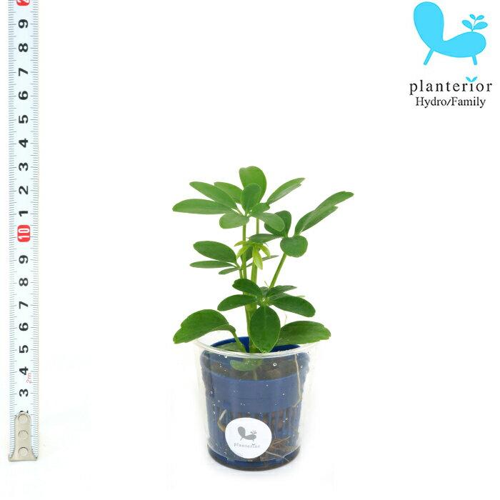 観葉植物 ハイドロカルチャー 苗 シェフレラ ホンコン Sサイズ 4.5パイ 1.5寸