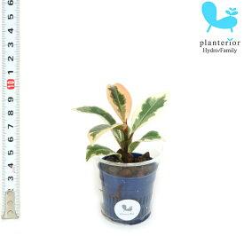 観葉植物 ハイドロカルチャー 苗 ゴムノキ(ティネケ) Sサイズ 4.5パイ 1.5寸