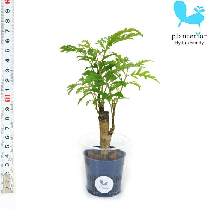 観葉植物 ハイドロカルチャー 苗 ポリシャス フィリシフォリア Sサイズ 4.5パイ 1.5寸