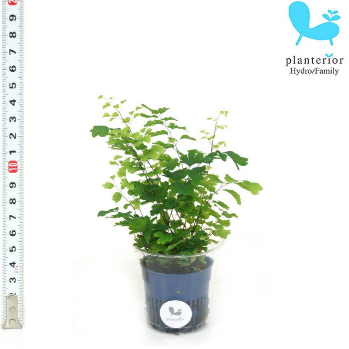 観葉植物 ハイドロカルチャー 苗 アジアンタム Sサイズ 4.5パイ 1.5寸
