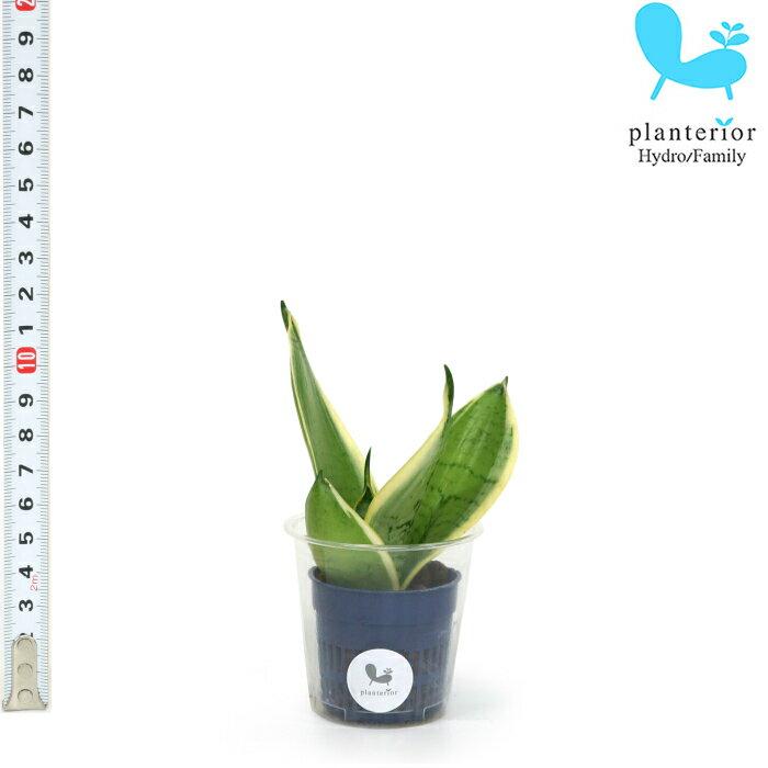 観葉植物 ハイドロカルチャー 苗 サンスベリア シルバーハニー Sサイズ 4.5パイ 1.5寸