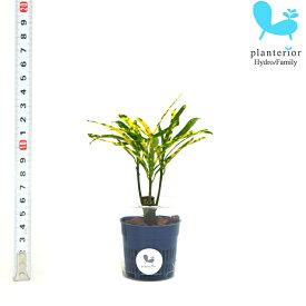 観葉植物 ハイドロカルチャー 苗 クロトン リュウセイ Sサイズ 4.5パイ 1.5寸