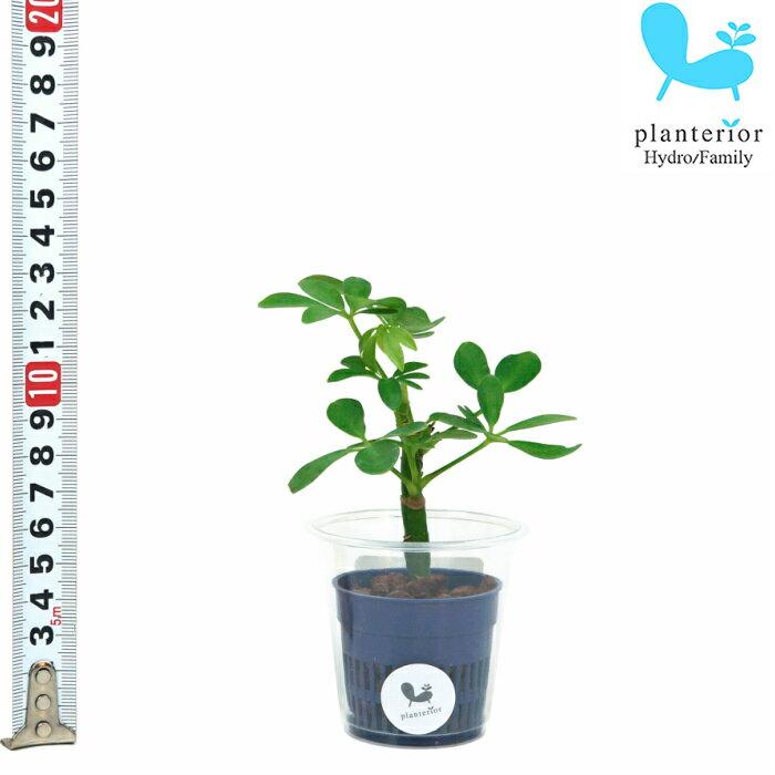 観葉植物 ハイドロカルチャー 苗 シェフレラ コンパクタ Sサイズ 4.5パイ 1.5寸