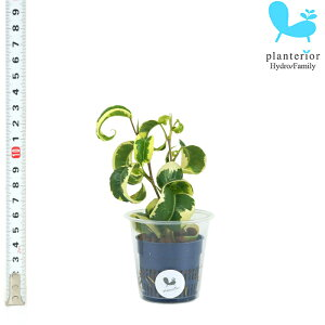 観葉植物 ハイドロカルチャー 苗 フィカス ベンジャミナ バロック Sサイズ 4.5パイ 1.5寸