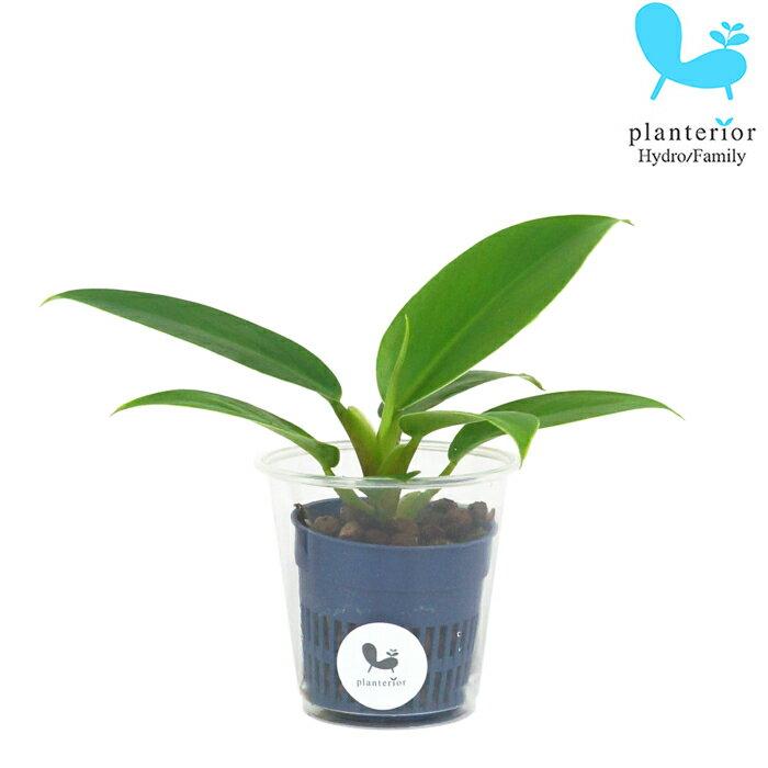 観葉植物 ハイドロカルチャー 苗 フィロデンドロン インペリアルグリーン Sサイズ 4.5パイ 1.5寸