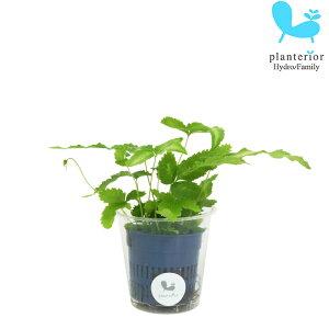 観葉植物 ハイドロカルチャー 苗 プテリス アルボリネアータ Sサイズ 4.5パイ 1.5寸