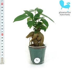 観葉植物 ハイドロカルチャー 苗 ガジュマル Mサイズ 6パイ 2寸