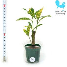 観葉植物 ハイドロカルチャー 苗 クロトン アキュビフォーリア Mサイズ 6パイ 2寸