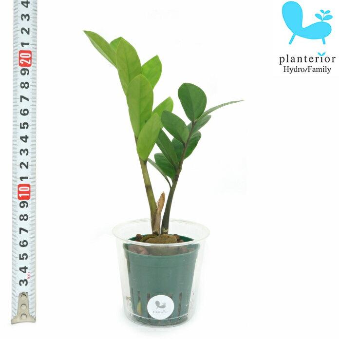 観葉植物 ハイドロカルチャー 苗 ザミオカルカス Mサイズ 6パイ 2寸