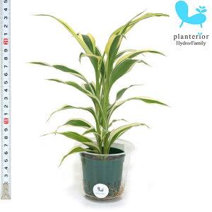 観葉植物 ハイドロカルチャー 苗 サンデリアナ ホワイト Mサイズ 6パイ 2寸