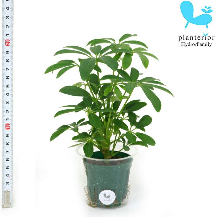 観葉植物 ハイドロカルチャー 苗 シェフレラ ホンコン Mサイズ 6パイ 2寸