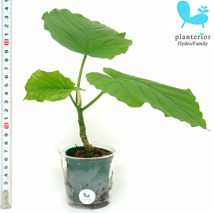 観葉植物 ハイドロカルチャー 苗 フィカス ウンベラータ Mサイズ 6パイ 2寸