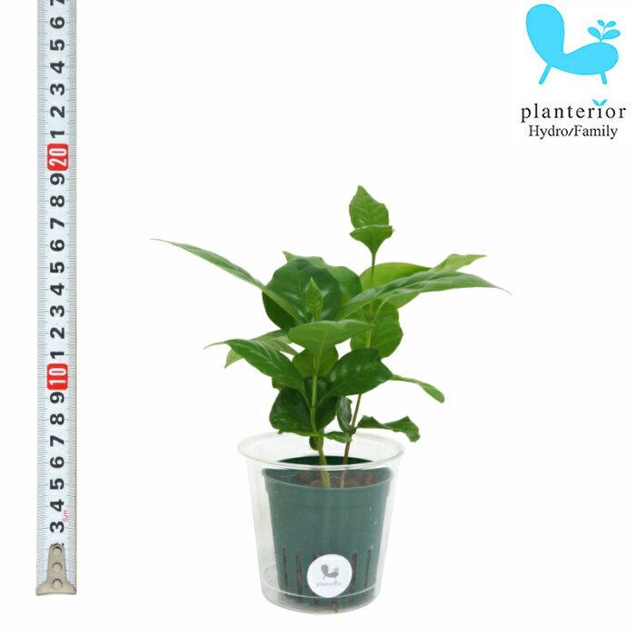 観葉植物 ハイドロカルチャー 苗 コーヒーの木 Mサイズ 6パイ 2寸